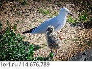 Купить «Silver gull», фото № 14676789, снято 22 октября 2018 г. (c) age Fotostock / Фотобанк Лори