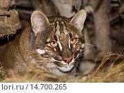 Купить «Asian Golden Cat or Temminck´s Cat, catopuma temmincki, Portrait of Adult.», фото № 14700265, снято 27 ноября 2006 г. (c) age Fotostock / Фотобанк Лори