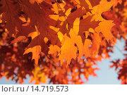 Купить «Оранжевые осенние листья дуба красного (Quércus rubra) на фоне голубого неба», эксклюзивное фото № 14719573, снято 5 ноября 2015 г. (c) Ирина Водяник / Фотобанк Лори