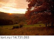 Купить «common oak, pedunculate oak, English oak (Quercus robur), landscape with meadows and oaks at sunset, Germany, Rhineland-Palatinate, Altenkirchen, Niederfischbach», фото № 14731093, снято 29 октября 2011 г. (c) age Fotostock / Фотобанк Лори