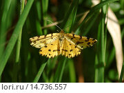 Купить «Speckled Yellow (Pseudopanthera macularia), on a blade of grass, Germany», фото № 14736557, снято 2 мая 2007 г. (c) age Fotostock / Фотобанк Лори