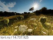 Купить «Queen Anne's lace, wild carrot (Daucus carota), blooming in backlight, Germany, Mecklenburg-Western Pomerania, Hiddensee», фото № 14737925, снято 6 августа 2013 г. (c) age Fotostock / Фотобанк Лори