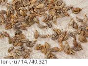 Купить «Curled parsley, Parsley (Petroselinum crispum), parsley seed», фото № 14740321, снято 22 июня 2013 г. (c) age Fotostock / Фотобанк Лори