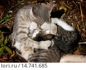 Купить «domestic cat, house cat (Felis silvestris f. catus), grey tabby cat romping with her kittens in the straw, Germany, Baden-Wuerttemberg», фото № 14741685, снято 28 сентября 2008 г. (c) age Fotostock / Фотобанк Лори