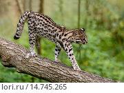 Купить «Tiger Cat or Oncilla, leopardus tigrinus, walking on branch.», фото № 14745265, снято 18 сентября 2007 г. (c) age Fotostock / Фотобанк Лори