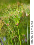 Купить «papyrus, paper plant, bulrush (Cyperus papyrus), blooming», фото № 14748453, снято 20 августа 2013 г. (c) age Fotostock / Фотобанк Лори