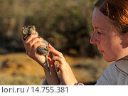 Купить «Four-striped grass mouse, Striped mouse (Rhabdomys pumilio), zoologist examining a striped mouse, Succulent Karoo research station, South Africa, Namaqualand, Goegap Nature Reserve», фото № 14755381, снято 1 ноября 2010 г. (c) age Fotostock / Фотобанк Лори