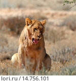 Купить «lion (Panthera leo), young male sits and yawns, South Africa, Kgalagadi Transfrontier National Park», фото № 14756101, снято 30 июля 2012 г. (c) age Fotostock / Фотобанк Лори