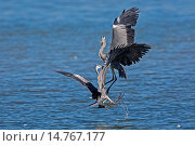 Купить «grey heron (Ardea cinerea), two herons fighting in flight, Germany, Bavaria, Lake Chiemsee», фото № 14767177, снято 16 августа 2013 г. (c) age Fotostock / Фотобанк Лори