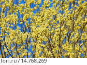 Купить «pussy willow, goat willow, great sallow (Salix caprea), blooming wilow, Germany, Bavaria, Franconia», фото № 14768269, снято 28 октября 2008 г. (c) age Fotostock / Фотобанк Лори