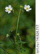 Купить «Bachelor's button, Ranunculus aconitifolius / Eisenhutblättriger Hahnenfuß, Ranunculus aconitifolius», фото № 14824717, снято 8 августа 2012 г. (c) age Fotostock / Фотобанк Лори