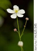 Купить «Bachelor's button, Ranunculus aconitifolius / Eisenhutblättriger Hahnenfuß, Ranunculus aconitifolius», фото № 14825545, снято 5 июля 2010 г. (c) age Fotostock / Фотобанк Лори