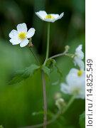 Купить «Bachelor's button, Ranunculus aconitifolius / Eisenhutblättriger Hahnenfuß, Ranunculus aconitifolius», фото № 14825549, снято 9 июня 2012 г. (c) age Fotostock / Фотобанк Лори