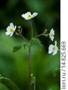 Купить «Bachelor's button, Ranunculus aconitifolius / Eisenhutblättriger Hahnenfuß, Ranunculus aconitifolius», фото № 14825669, снято 9 июня 2012 г. (c) age Fotostock / Фотобанк Лори