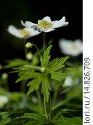 Купить «Bachelor's button, Ranunculus aconitifolius / Eisenhutblättriger Hahnenfuß, Ranunculus aconitifolius», фото № 14826709, снято 29 мая 2012 г. (c) age Fotostock / Фотобанк Лори