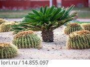 Купить «Маленькая пальма растет среди кактусов на песке. Египет», фото № 14855097, снято 5 ноября 2015 г. (c) Кекяляйнен Андрей / Фотобанк Лори