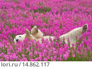 Купить «Polar Bear (Ursa maritimus) in fireweed (Epilobium angustifolium) on an island off the sub-arctic coast of Hudson Bay, Churchill, Manitoba, Canada. Bears...», фото № 14862117, снято 2 августа 2008 г. (c) age Fotostock / Фотобанк Лори