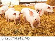 Купить «young piglet on hay at pig farm», фото № 14918745, снято 23 августа 2012 г. (c) Дмитрий Калиновский / Фотобанк Лори