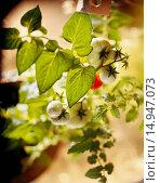 Купить «Tomato Plant», фото № 14947073, снято 13 декабря 2004 г. (c) age Fotostock / Фотобанк Лори