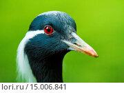 Jungfernkranich (Anthropoides virgo) Стоковое фото, фотограф Zoonar/Jearu / age Fotostock / Фотобанк Лори