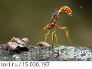 Female Giant Ichneumon Wasp (Megarhyssa macrurus) - Pisgah National Forest - Brevard, North Carolina USA. Стоковое фото, фотограф Bill Gozansky / age Fotostock / Фотобанк Лори