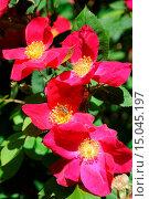 Купить «Rosa gallica Scharlachglut, Essig-Rose, French rose, mit Biene», фото № 15045197, снято 23 апреля 2019 г. (c) age Fotostock / Фотобанк Лори
