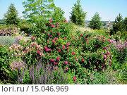 Купить «Rosa gallica Charles de Mills, Essigrose, French rose», фото № 15046969, снято 23 апреля 2019 г. (c) age Fotostock / Фотобанк Лори