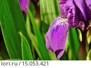 Купить «Крупным планом лепестки фиолетового ириса при ярком свете заката», фото № 15053421, снято 19 сентября 2018 г. (c) Зезелина Марина / Фотобанк Лори