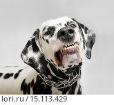 Портрет собаки породы далматин на сером фоне. Стоковое фото, фотограф Sergey Fatin / Фотобанк Лори