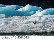 Купить «Harbor seal (Phoca vitulina) resting on icebergs from the LeConte Glacier and are drifting in LeConte Bay, Tongass National Forest, Southeast Alaska, USA.», фото № 15158613, снято 23 августа 2013 г. (c) age Fotostock / Фотобанк Лори