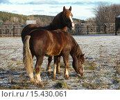 Купить «Пасущиеся лошади», фото № 15430061, снято 27 июня 2019 г. (c) Музыка Анна / Фотобанк Лори