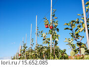 Купить «Ripe red apples», фото № 15652085, снято 22 сентября 2019 г. (c) PantherMedia / Фотобанк Лори