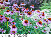 Купить «A mass planting of purple cone flowers, Echinacea, in a garden in the summer.», фото № 15722045, снято 16 августа 2013 г. (c) age Fotostock / Фотобанк Лори