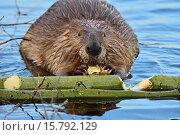 Купить «An adult beaver ´Castor canadenis´, chewing on a piece of tree that he has just bitten from the green aspen branch.», фото № 15792129, снято 5 сентября 2014 г. (c) age Fotostock / Фотобанк Лори