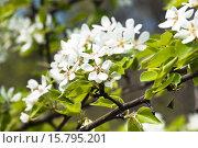Купить «Груша весной», фото № 15795201, снято 5 мая 2012 г. (c) Алёшина Оксана / Фотобанк Лори