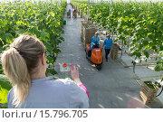 "Купить «Vegetable production in the Belgorod region. Company ""Greenhouses Belogoriya."" Harvest cucumbers.», фото № 15796705, снято 21 июля 2019 г. (c) age Fotostock / Фотобанк Лори"