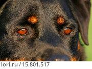 Rottweiler eyes. Стоковое фото, фотограф Tierfotoagentur / S. Schwerdtfeger / age Fotostock / Фотобанк Лори