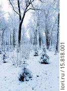 Купить «Зима. Молодые елки в дубовом лесу», фото № 15818001, снято 22 ноября 2015 г. (c) Зобков Георгий / Фотобанк Лори