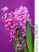 Купить «Hyacinth Pink Hyacinth against purple background.», фото № 15908821, снято 5 января 2013 г. (c) age Fotostock / Фотобанк Лори