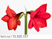 Купить «Amaryllis, Hippeastrum, Two red flowers on a long stem against a white background.», фото № 15925157, снято 20 января 2014 г. (c) age Fotostock / Фотобанк Лори