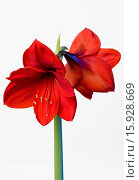 Купить «Amaryllis, Hippeastrum, Two red flowers on a long stem against a white background.», фото № 15928669, снято 20 января 2014 г. (c) age Fotostock / Фотобанк Лори