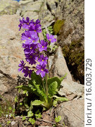 Купить «Shining Primula (Primula amoena) flowering, Ovitdagi Pass, Kaskar Mountains, Pontic Mountains, Anatolia, Turkey, July», фото № 16003729, снято 21 февраля 2019 г. (c) age Fotostock / Фотобанк Лори