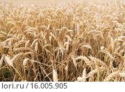 Купить «field of ripening wheat ears or rye spikes», фото № 16005905, снято 26 августа 2015 г. (c) Syda Productions / Фотобанк Лори