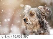Купить «Terrier-Mongrel in snow», фото № 16032597, снято 17 февраля 2020 г. (c) age Fotostock / Фотобанк Лори