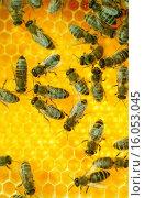 Купить «honey-comb and bees», фото № 16053045, снято 5 июля 2020 г. (c) age Fotostock / Фотобанк Лори