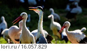 Купить «white stork (Ciconia ciconia), several storka and a crane, Germany, North Rhine-Westphalia», фото № 16057829, снято 10 ноября 2014 г. (c) age Fotostock / Фотобанк Лори