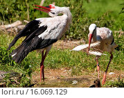 Купить «white stork (Ciconia ciconia), male displays, female with nesting material in the bill, Germany, North Rhine-Westphalia», фото № 16069129, снято 10 ноября 2014 г. (c) age Fotostock / Фотобанк Лори
