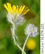 Купить «Hieracium villosum (Hieracium villosum), blooming, Austria, Tyrol, Lechtaler Alpen», фото № 16078225, снято 1 июля 2014 г. (c) age Fotostock / Фотобанк Лори