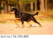 young Rottweiler. Стоковое фото, фотограф Tierfotoagentur / D. Geithner / age Fotostock / Фотобанк Лори