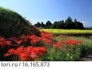 Купить «Japan, Kinki Region, Nara Prefecture, Asuka, Cluster-amaryllis.», фото № 16165873, снято 27 мая 2019 г. (c) age Fotostock / Фотобанк Лори